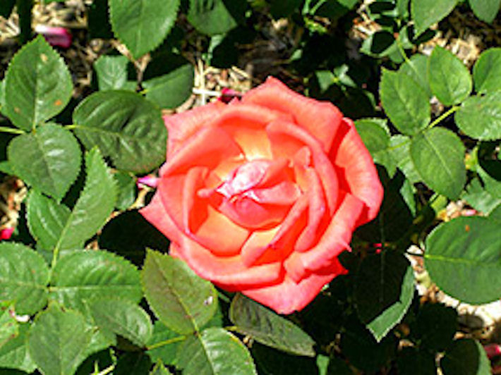 Видовой состав роз и шиповников