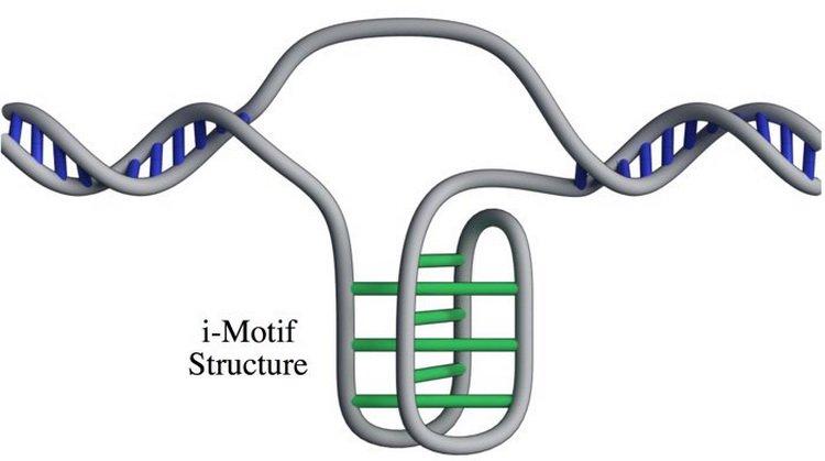 В человеческих клетках впервые обнаружена новая форма ДНК