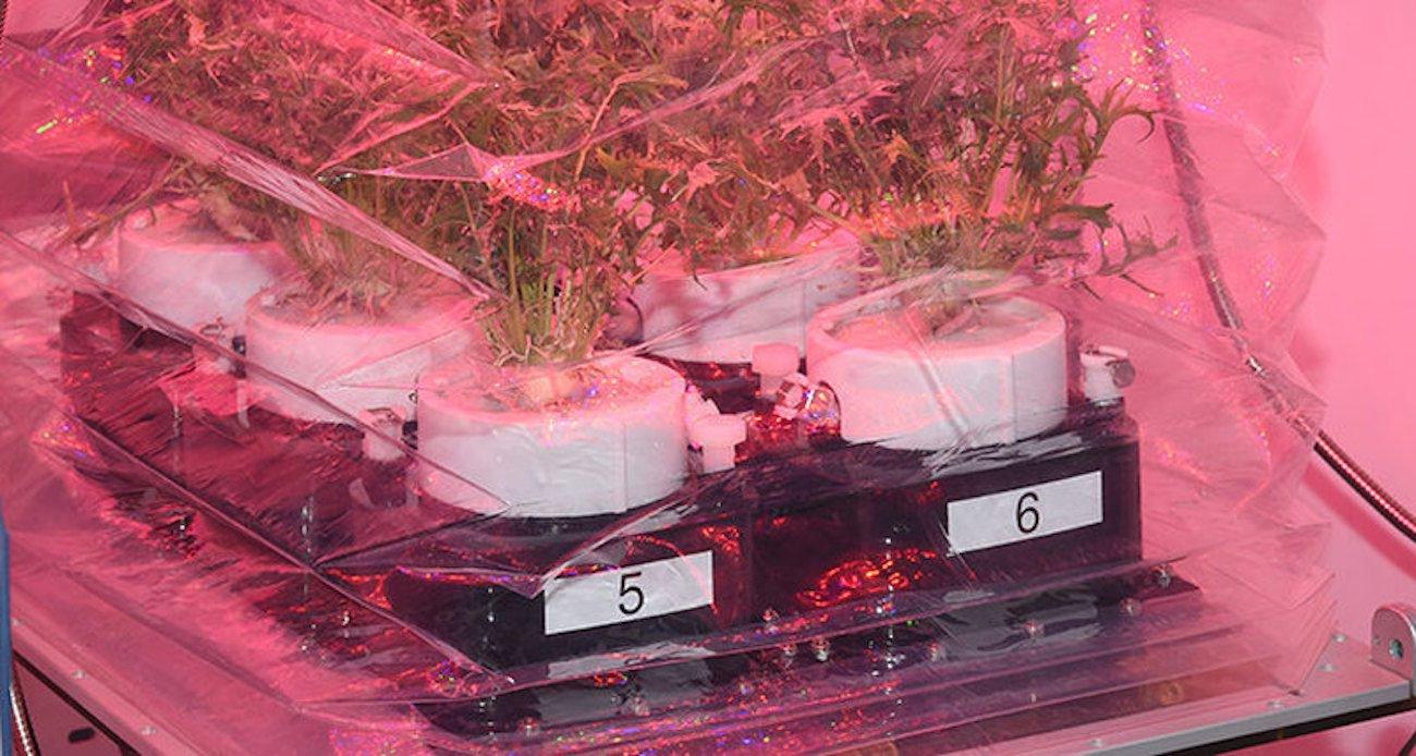 NASA вырастит на МКС «космическую капусту»