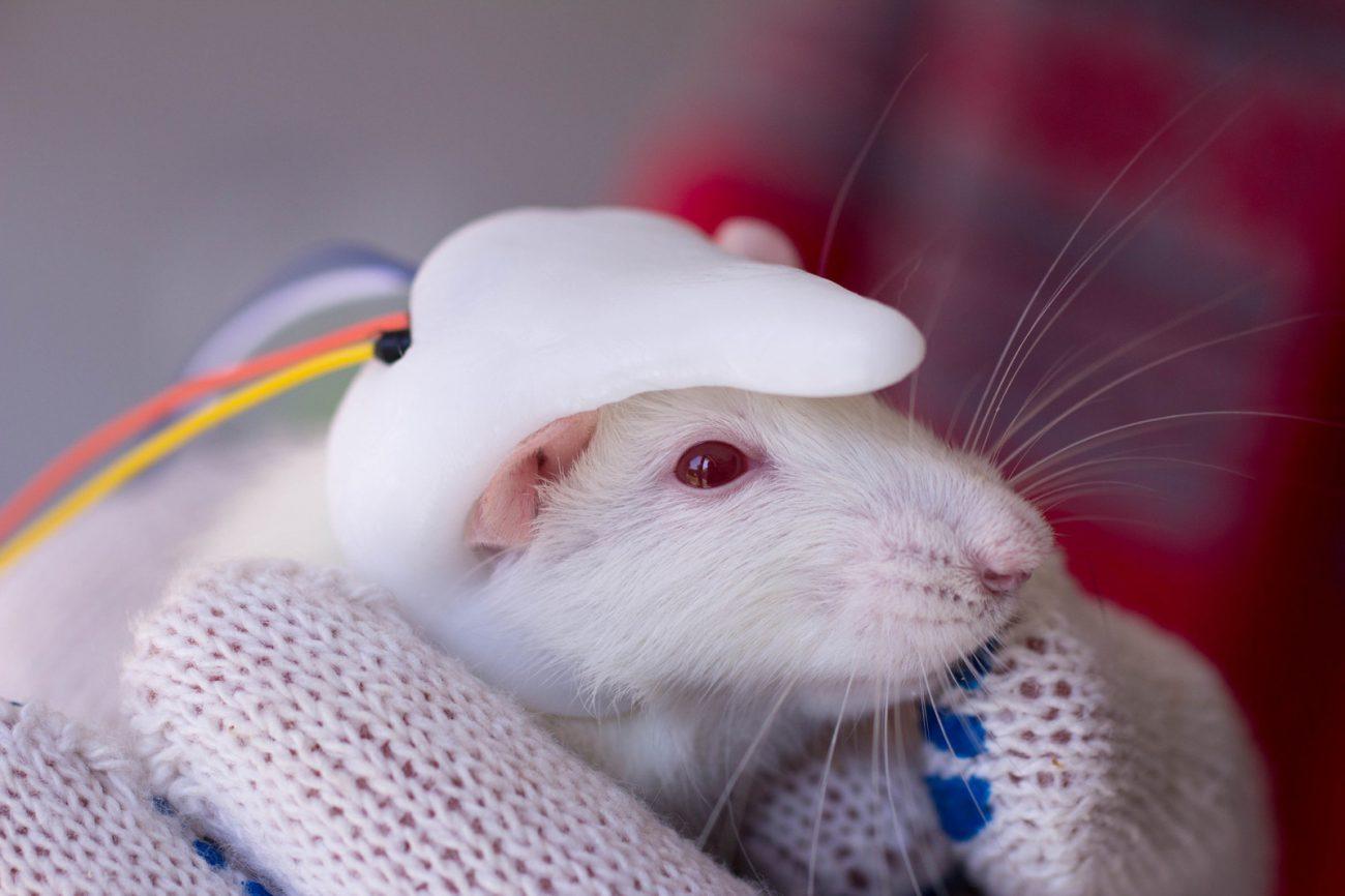 Ученые имплантировали маленький человеческий мозг мыши