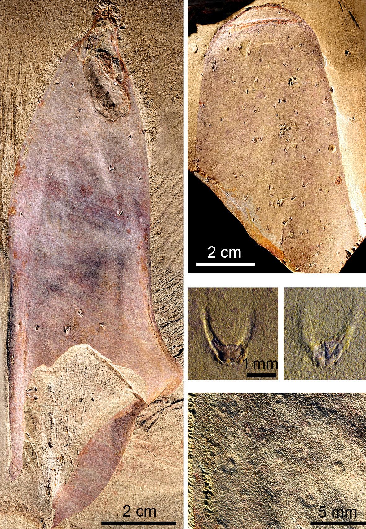 «Голое» ископаемое существо возрастом в полмиллиарда лет заставило ученых задуматься