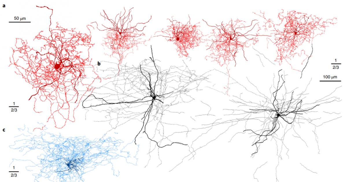 Открыт новый тип нейронов головного мозга