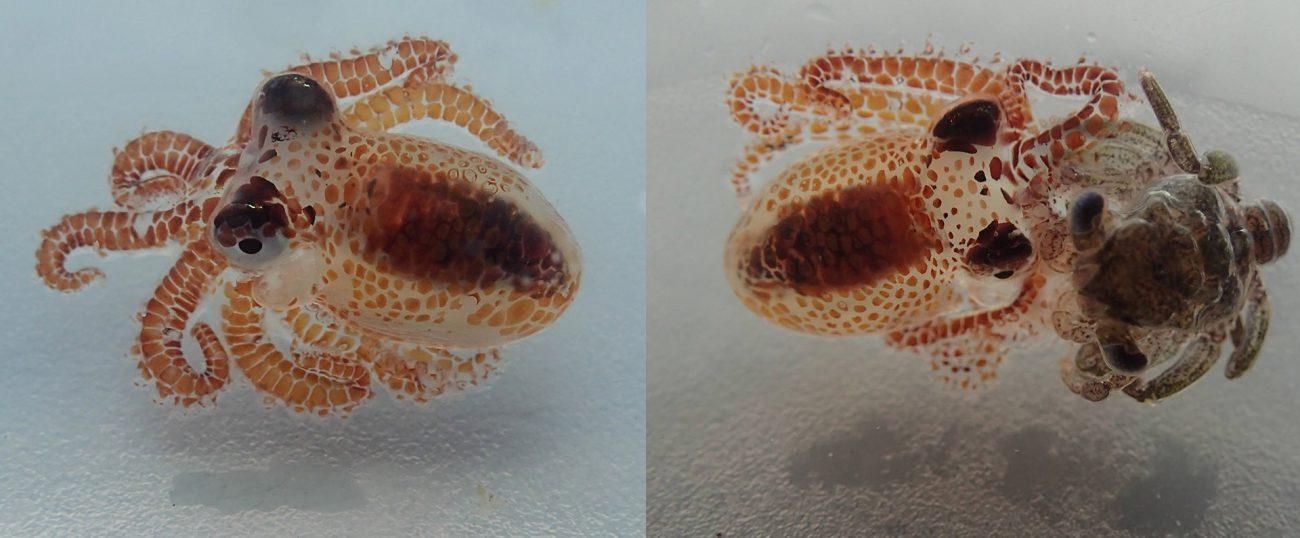 Крохотные осьминоги-убийцы напомнили о загрязненности океанов