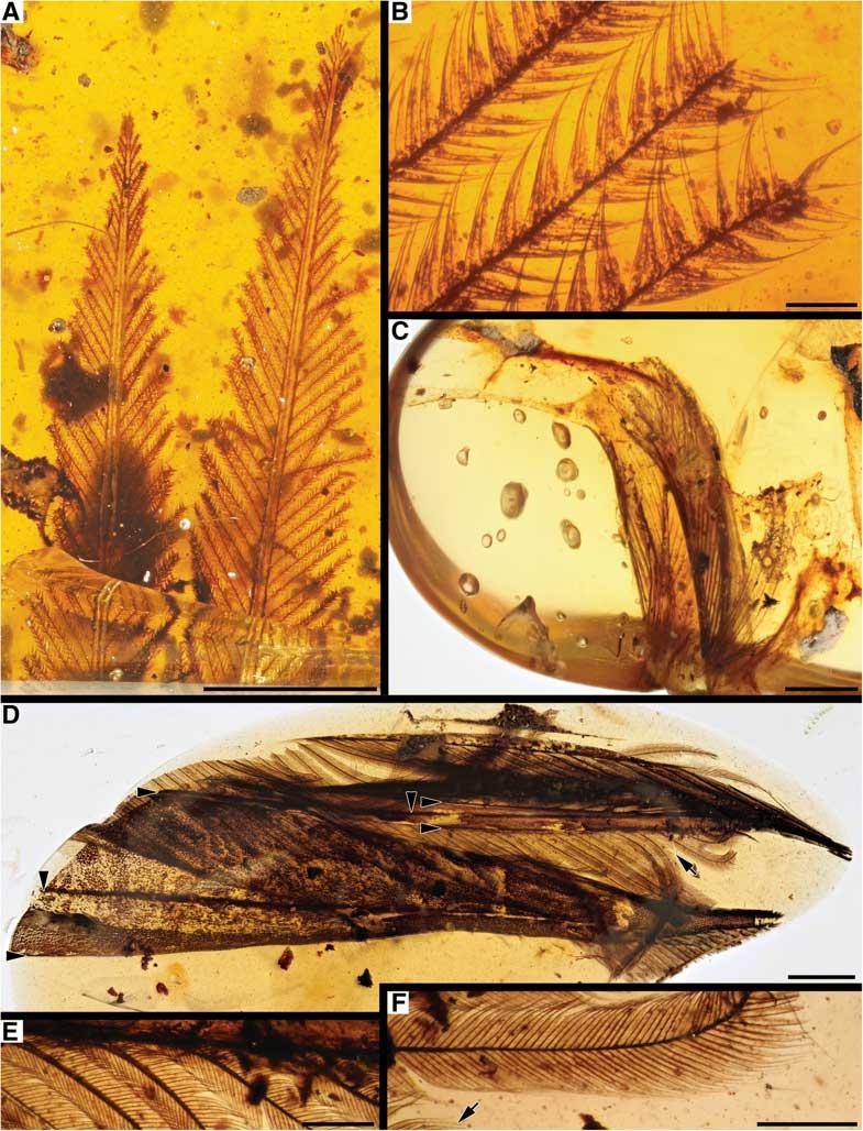 В янтаре нашли хвост-приманку неизвестной науке птицы