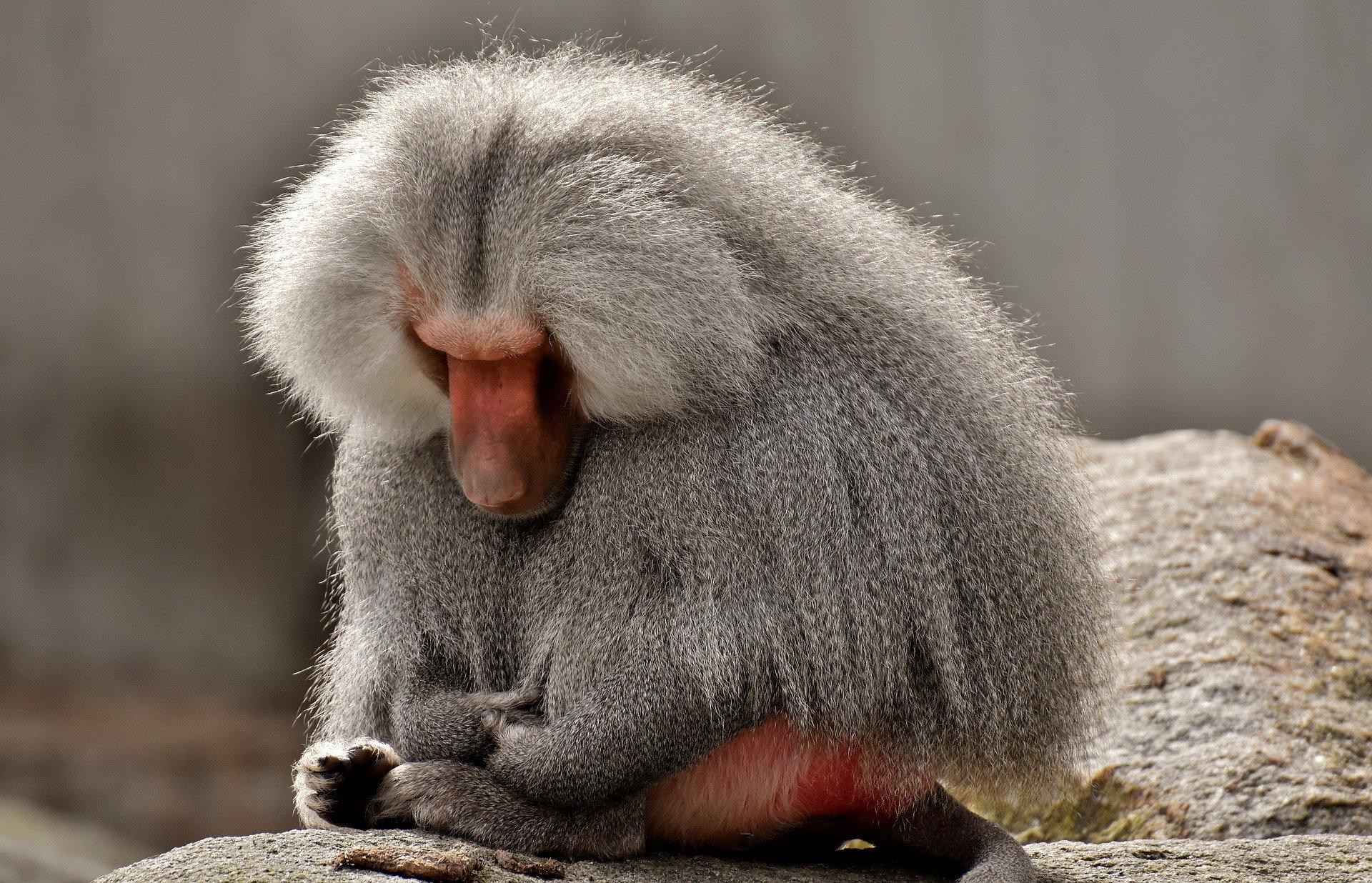 Осуществлена успешная пересадка свиных сердец бабуинам