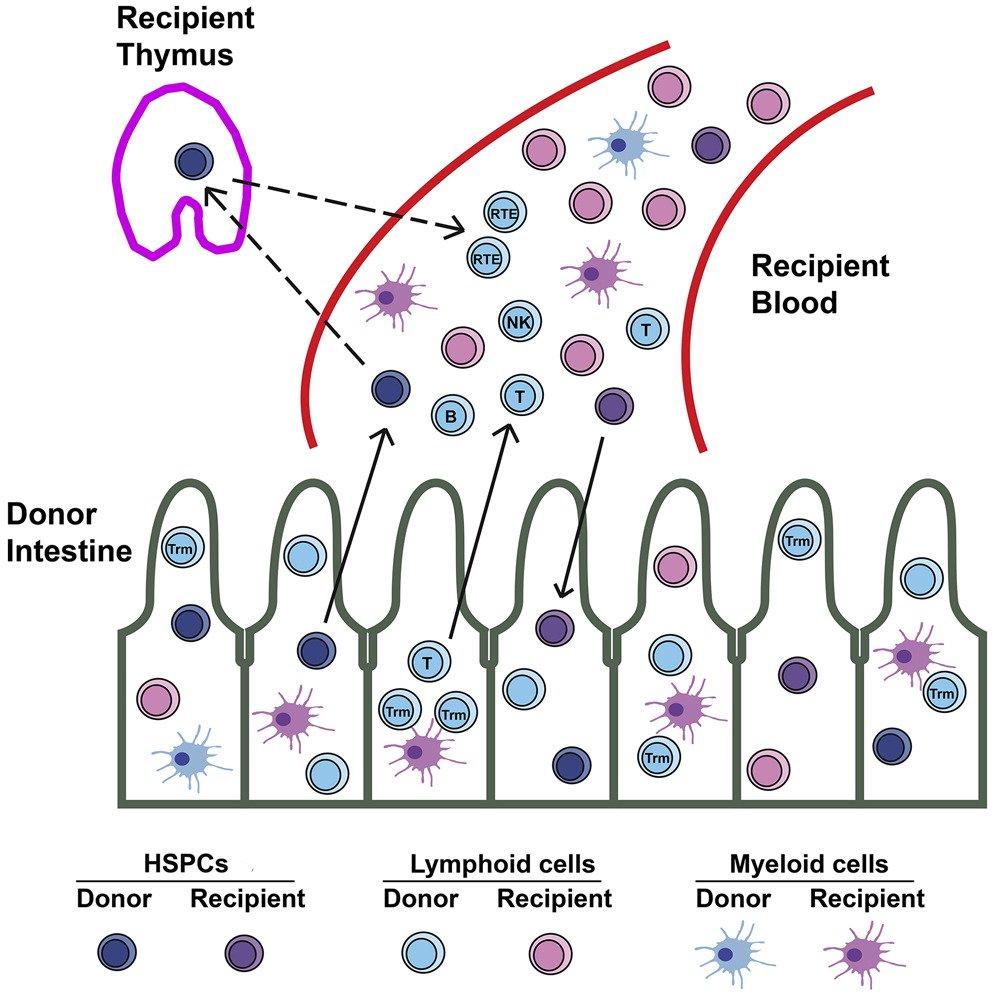 Открыто новое место зарождения клеток крови в человеческом организме