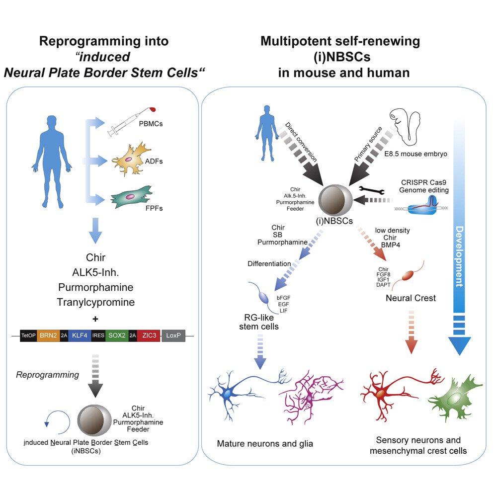 Клетки крови превратили в нейроны. Это поможет в лечении заболеваний нервной системы