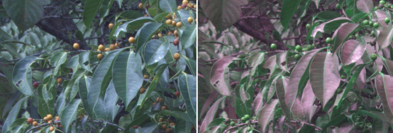 Специальная камера показала, как птицы ориентируются в листве деревьев