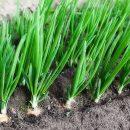 Культура выращивания лука